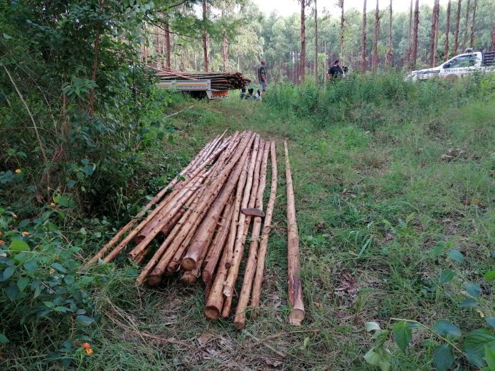 Timber thieves were apprehended by Canine Security in the Merensky plantations near Modjadjiskloof this week.